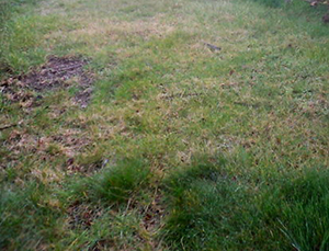 lawn disease before